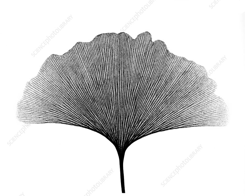 X-ray of Ginkgo leaf