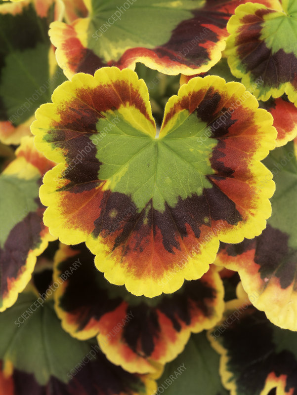 Geranium 'Contrast' leaves