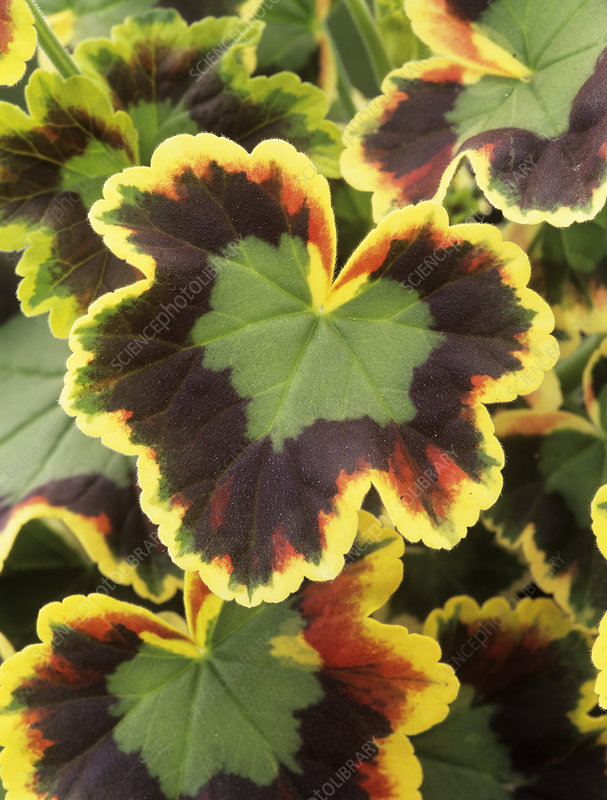 Geranium 'Mrs Pollock' leaves