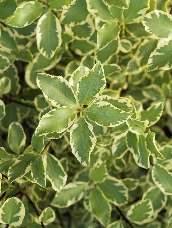 Pittosporum 'Variegatum' foliage