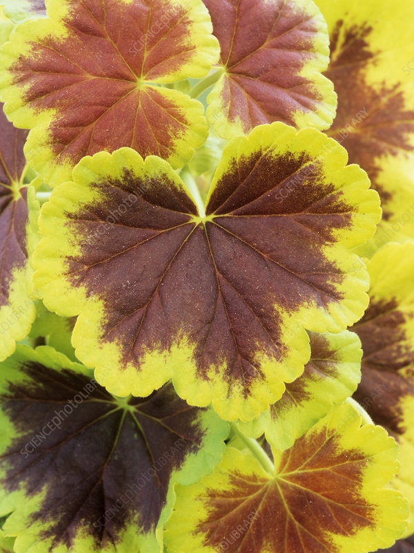 Pelargonium 'Occold Shield' leaves