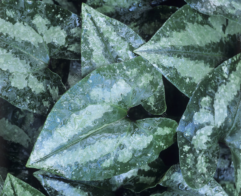 Asarum chinchengense leaves