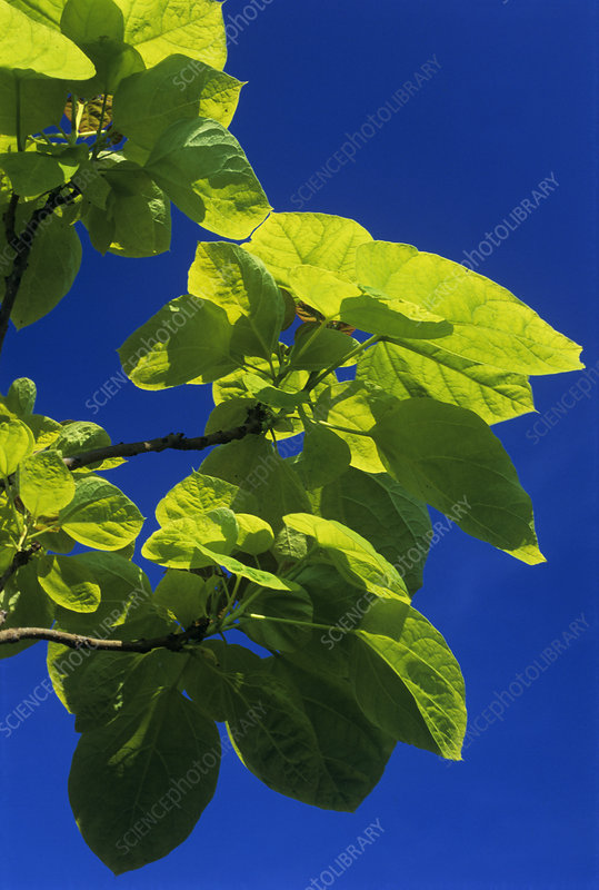 Indian bean tree 'Aurea'