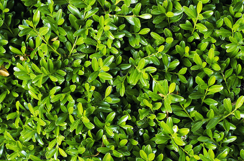 Littleleaf box (Buxus microphylla)