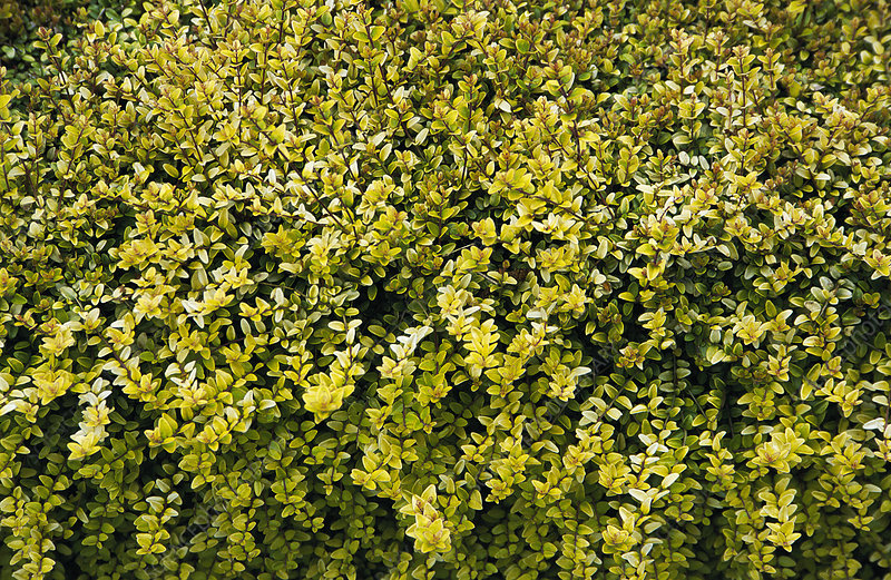 Shrubby honeysuckle 'Baggesen's Gold'