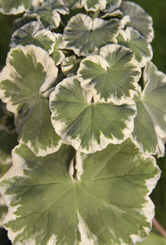 Variegated Geranium leaves