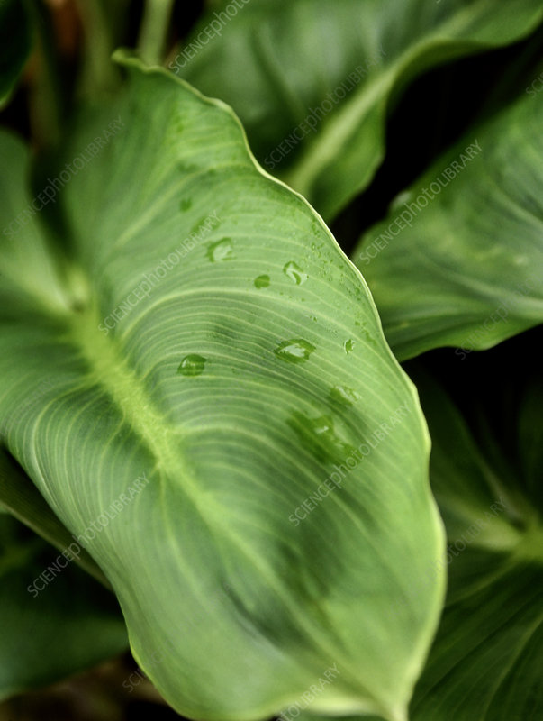 White arum lily leaves