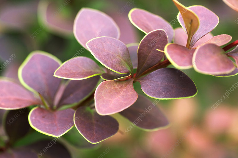 Barberry (Berberis 'Golden Ring')