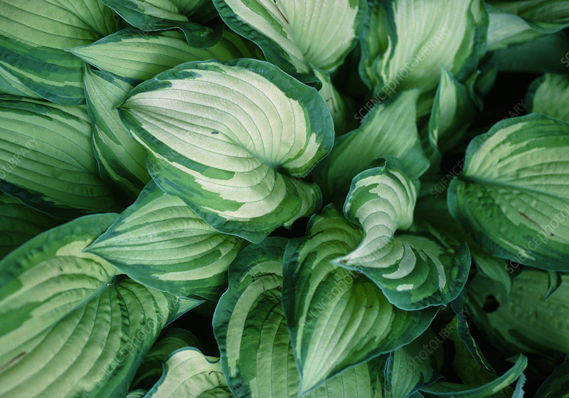 Hosta (Hosta 'Gold Standard') leaves