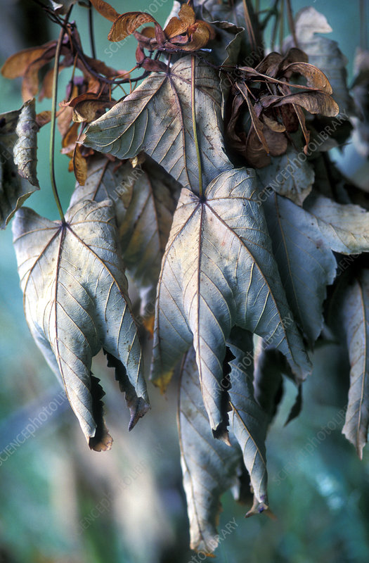Dying sycamore leaves