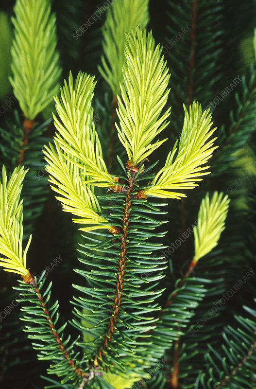 Golden Norway Spruce spring foliage