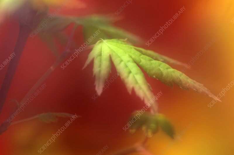 Japanese maple leaf (Acer palmatum)