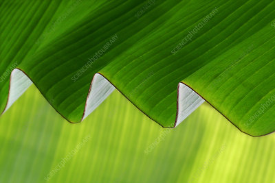 Rippled banana leaf
