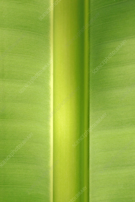 Travellers palm leaf