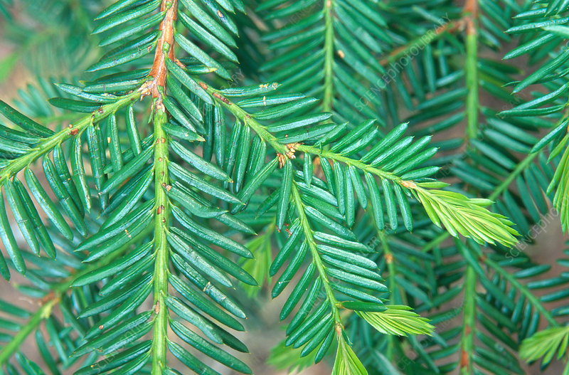 Needles of the Pacific Yew