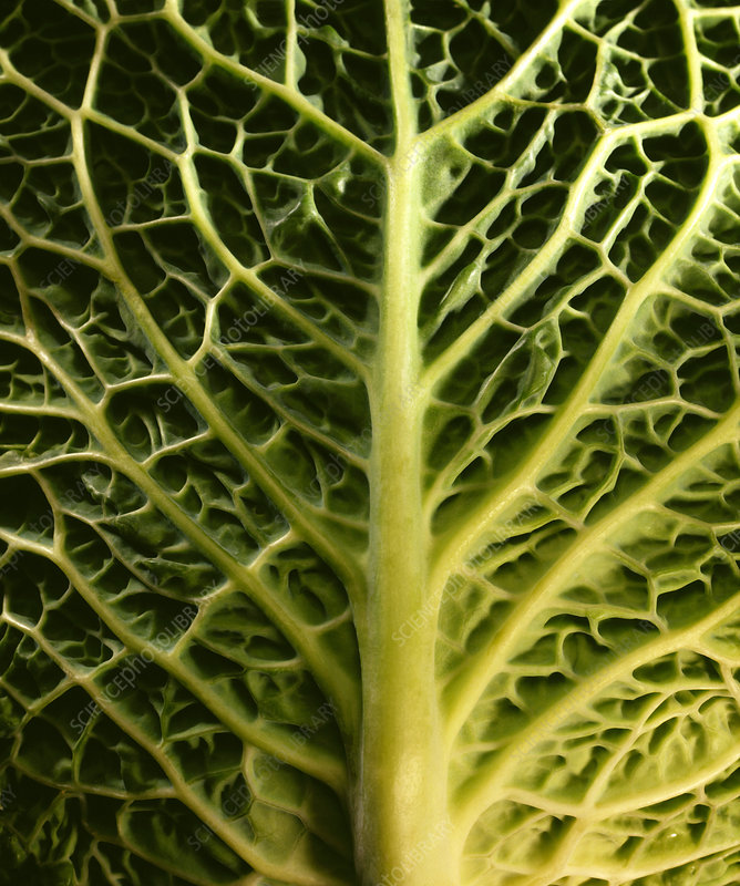 Cabbage leaf underside