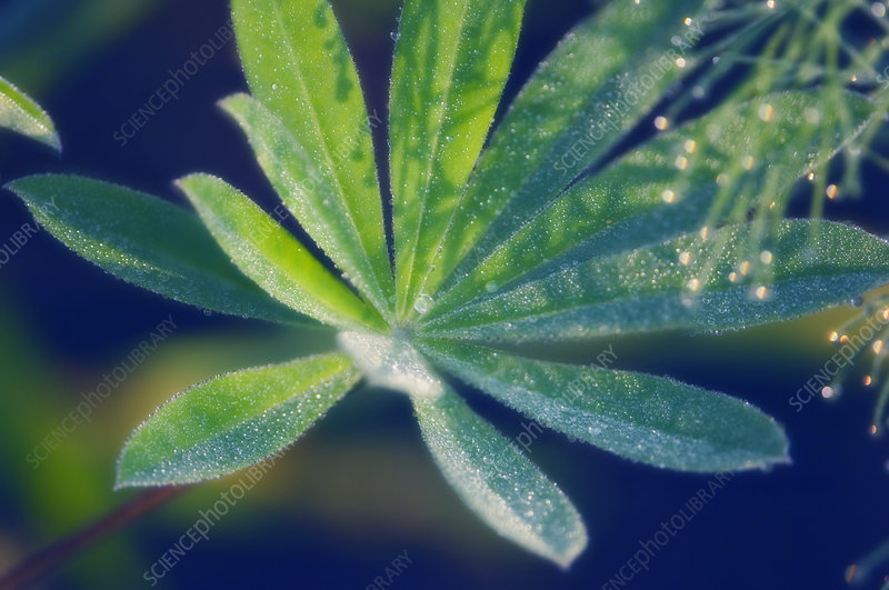 Russell lupin leaves (Lupinus x regalis)
