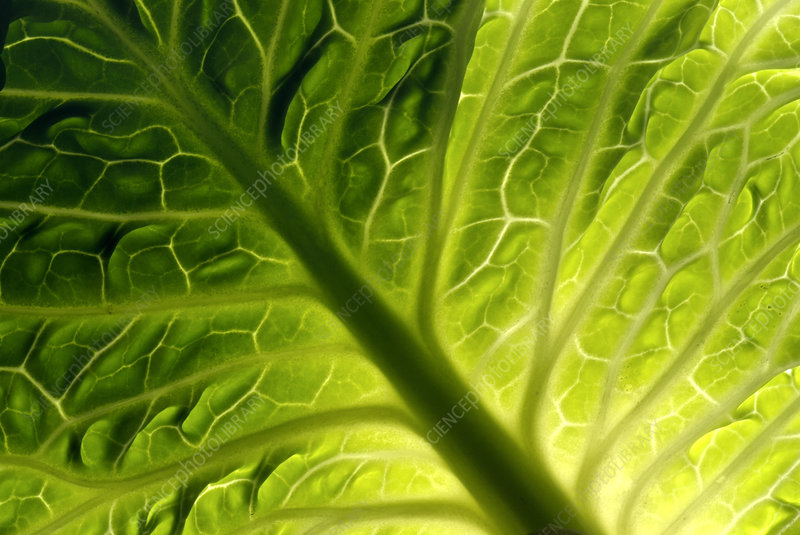 Cabbage leaf veins