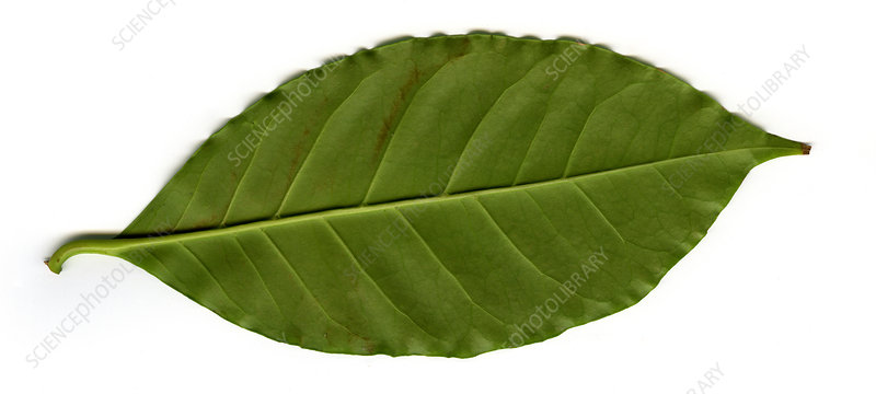 'Leaf of a Coffee plant (Coffea sp.), underside'