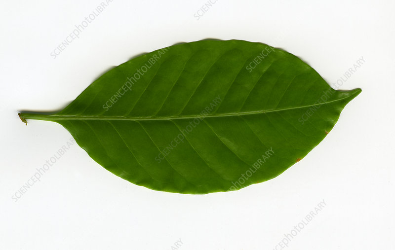 Leaf of a Coffee plant (Coffea sp.)