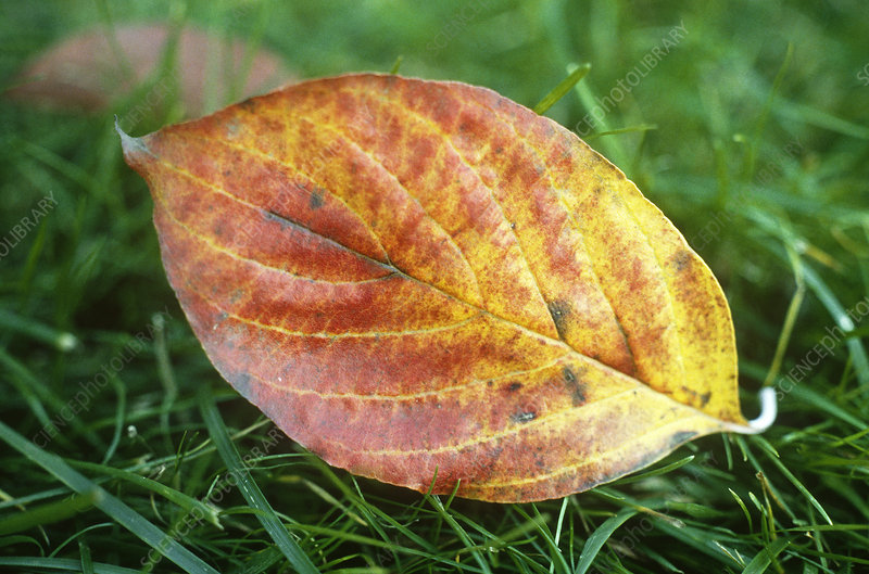 Dogwood leaf (Cornus florida)