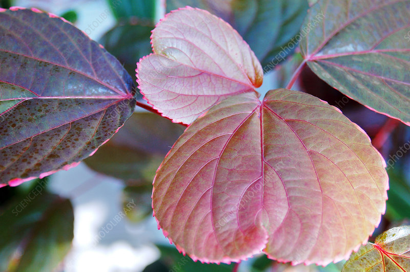 Copperleaf (Acalypha wilkesiana)