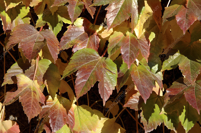 Ivy leaves (Parthenocissus sp.)