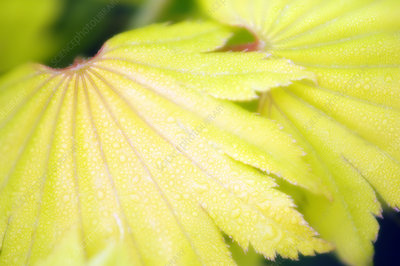 Acer shirasawanum 'Aureum' leaves