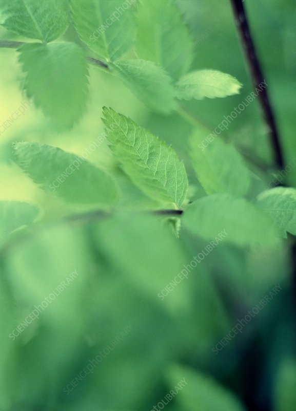 Ash leaves (Fraxinus sp.)