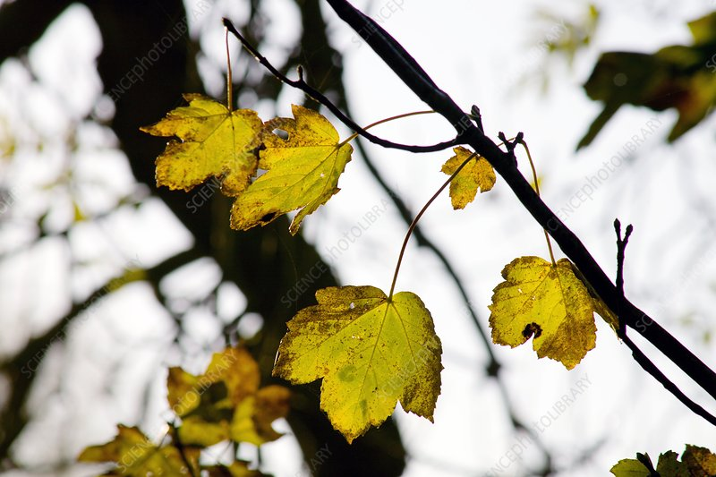 Sycamore leaves (Acer pseudoplatanus)