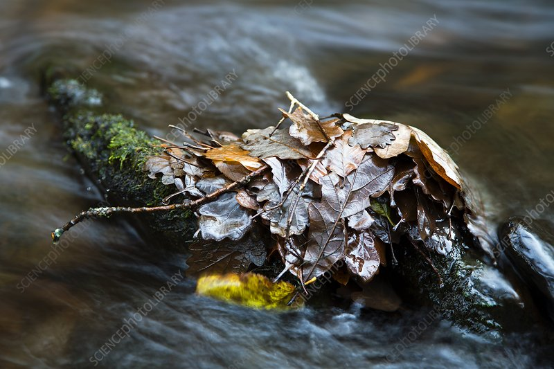 Fallen leaves in a river