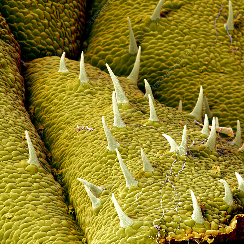 Coloured SEM of hairs on mugwort leaf