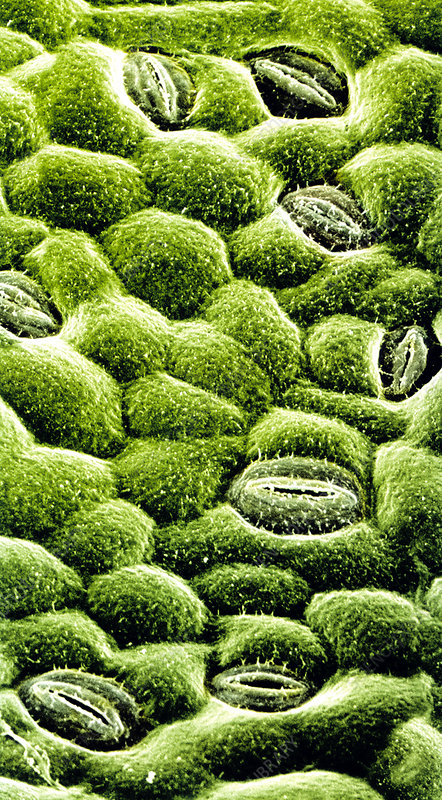 SEM of stomata on epidermis of rose leaf
