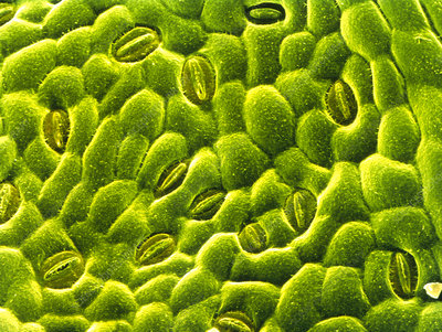 Stomata on epidermis of rose leaf