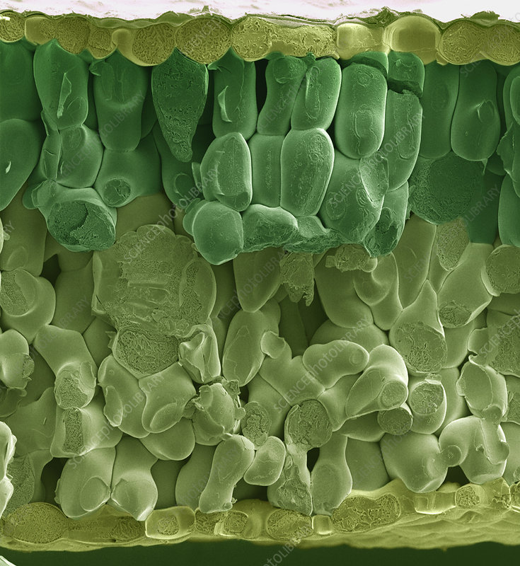 SEM of spinach leaf