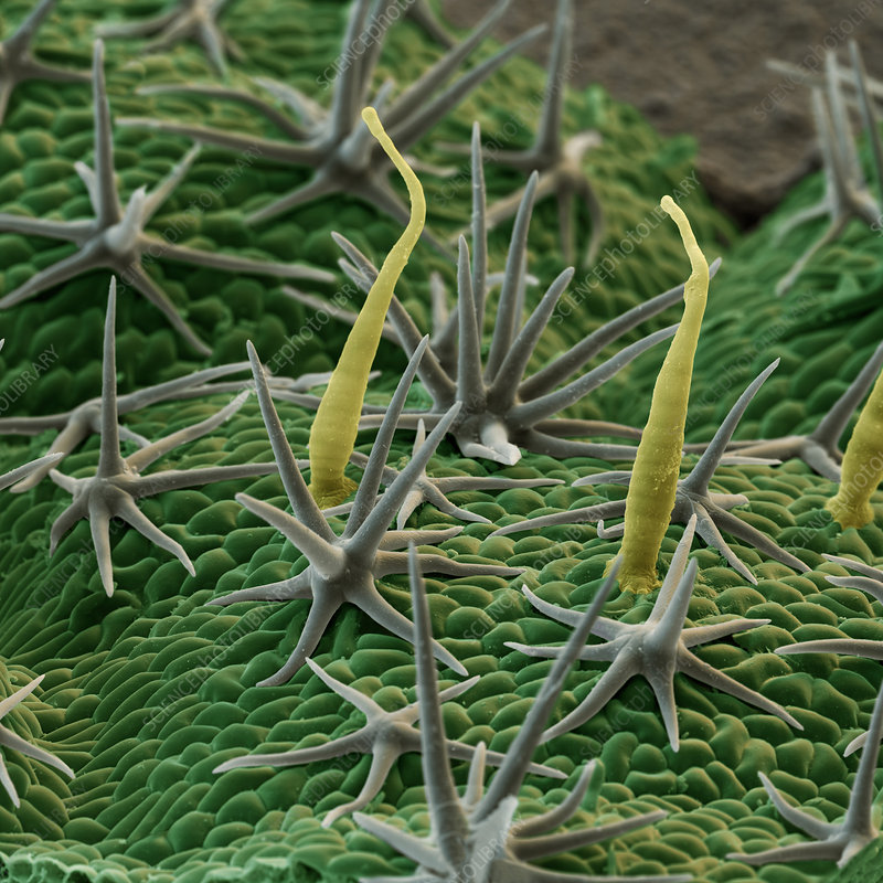 Rock rose leaf hairs