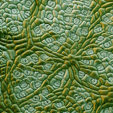 Camphor leaf surface, SEM