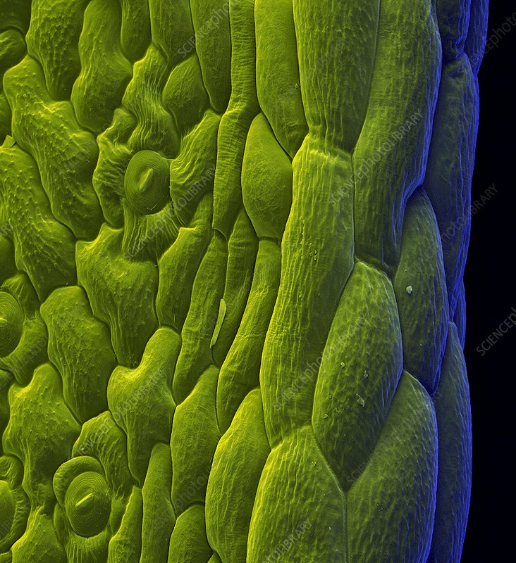 Common sorrel leaf, SEM