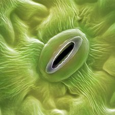 French lavender leaf pore, SEM