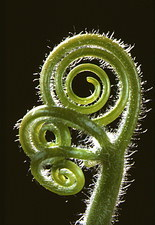 Curled tendrils of Citrullus plant