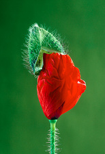 Flowering bud of field corn poppy