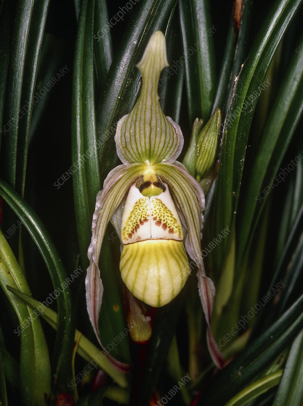 A slipper orchid.