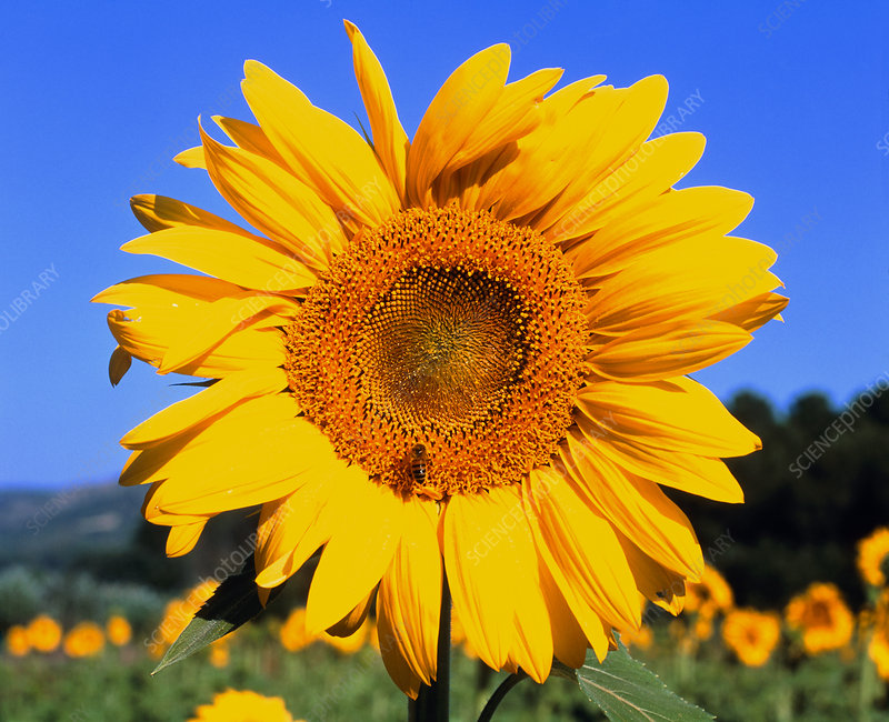 Sunflower with bee in field