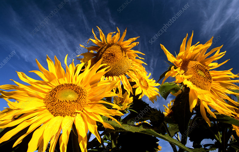 Sunflowers against the sky
