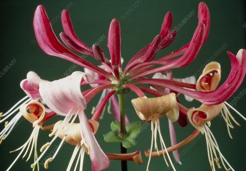 Honeysuckle flowers open