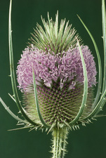 Teasel flower blooming