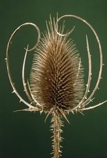 Teasel head after flowering