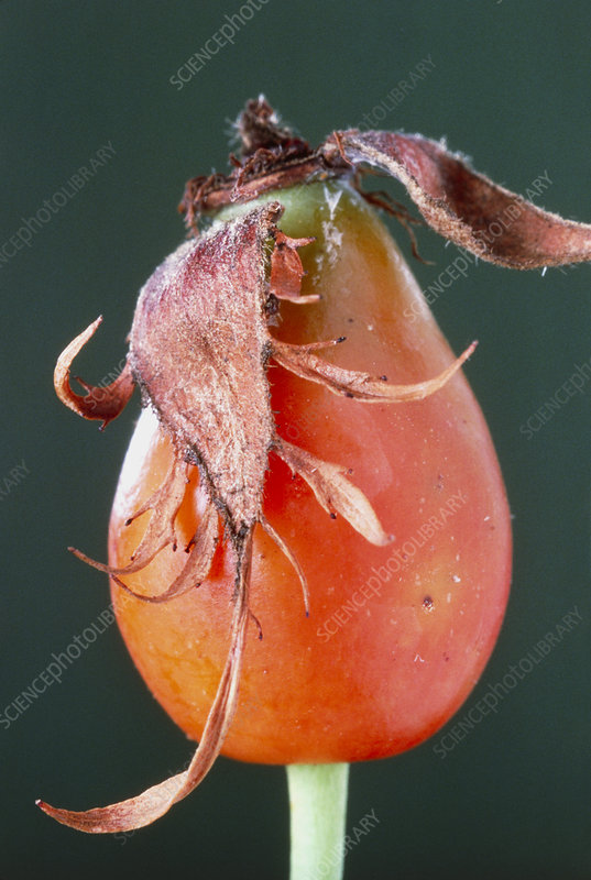 Dog rose hip with remnants of sepals