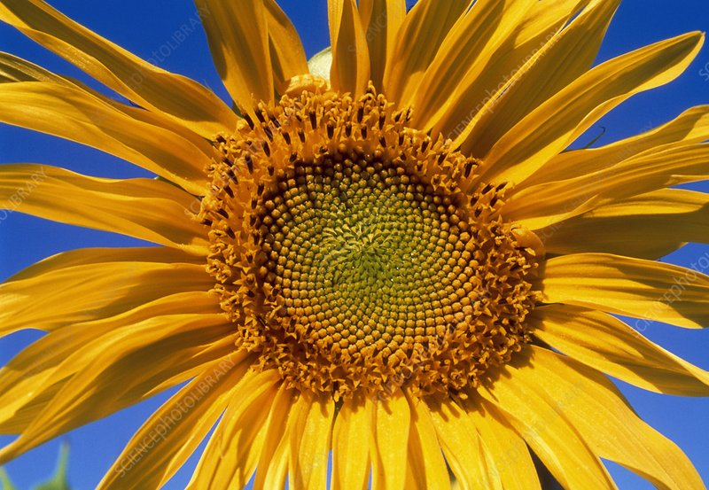 Blooming sunflower, Helianthus sp.