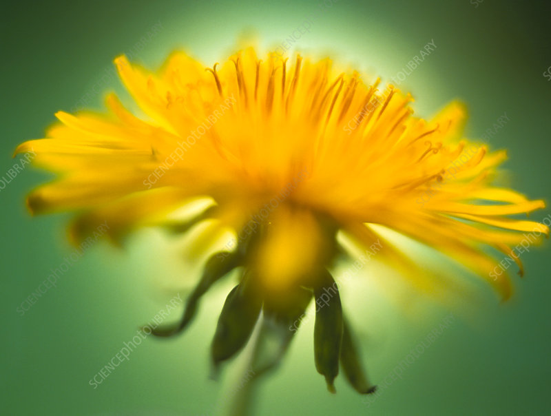Flowering dandelion (Taraxacum sp.)